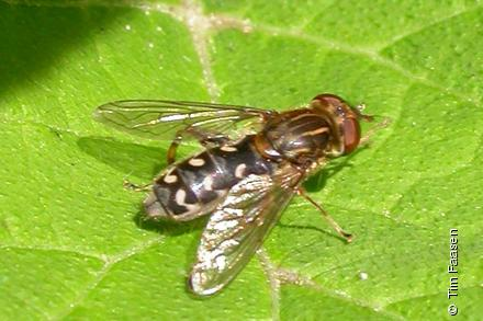 Photo from Anasimyia transfuga
