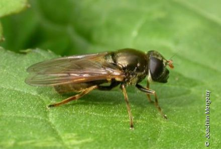 Photo from Cheilosia chloris
