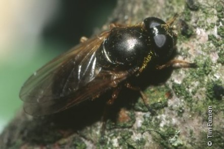 Photo from Cheilosia fraterna