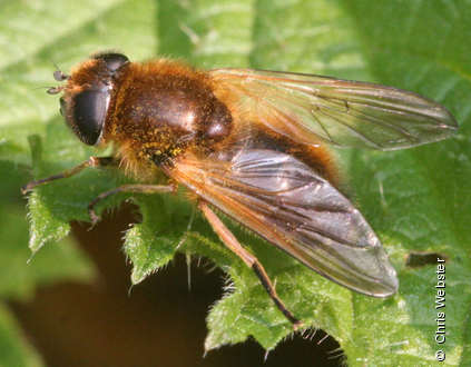 Photo from Cheilosia grossa