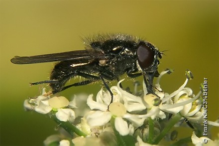 Photo from Cheilosia vulpina