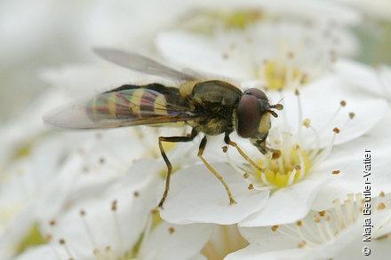 Photo from Syrphus nitidifrons