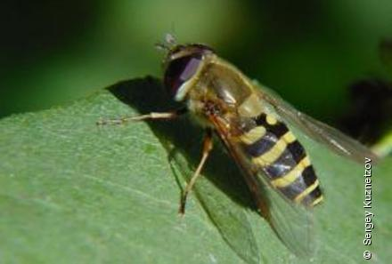Photo from Syrphus torvus