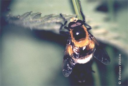 Photo from Volucella bombylans